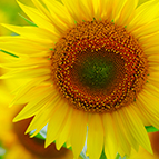 sccf-Structured-Commodity-Trade-Finance-sunflower-vignette