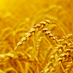 sccf-Structured-Commodity-Trade-Finance-wheat-vignette